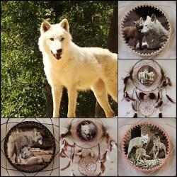 "White Wolf  ,,Vlci ze ZOO"" III"
