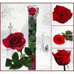 Stabilizovaná růže v...